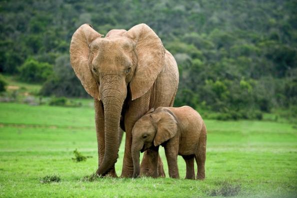 Οι ελέφαντες και άλλα μεγαλόσωμα ζώα αντιμετωπίζουν αυξημένο κίνδυνο εξαφάνισης σύμφωνα με τον καθηγητή  Βιολογίας Rodolfo Dirzo  στο Stanford