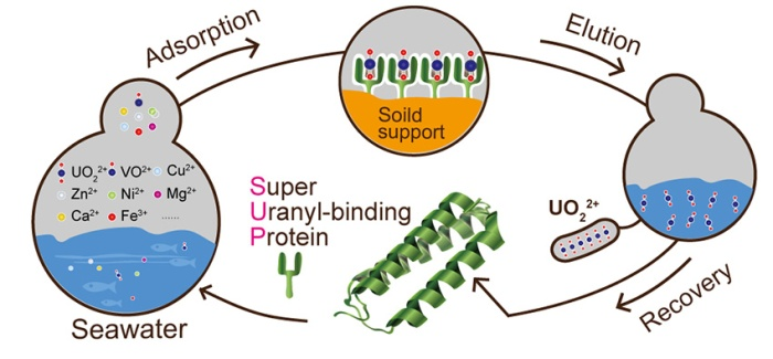 uranyl-binding-protein-large