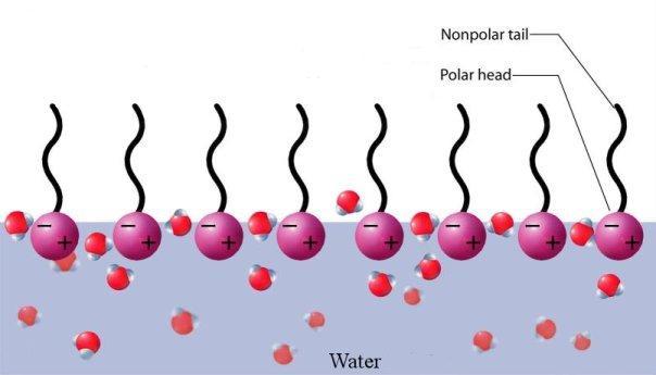 """Διάταξη μορίων που διαθέτουν υδρόφοβη """"ουρά"""" και υδρόφιλη """"κεφαλή"""" δημιουργούν μονομοριακό στρώμα στην επιφάνεια του νερού"""